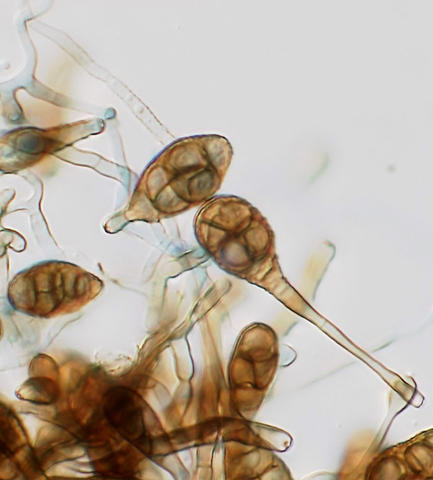 Alternaria macrospora; conidia and conidiophores.