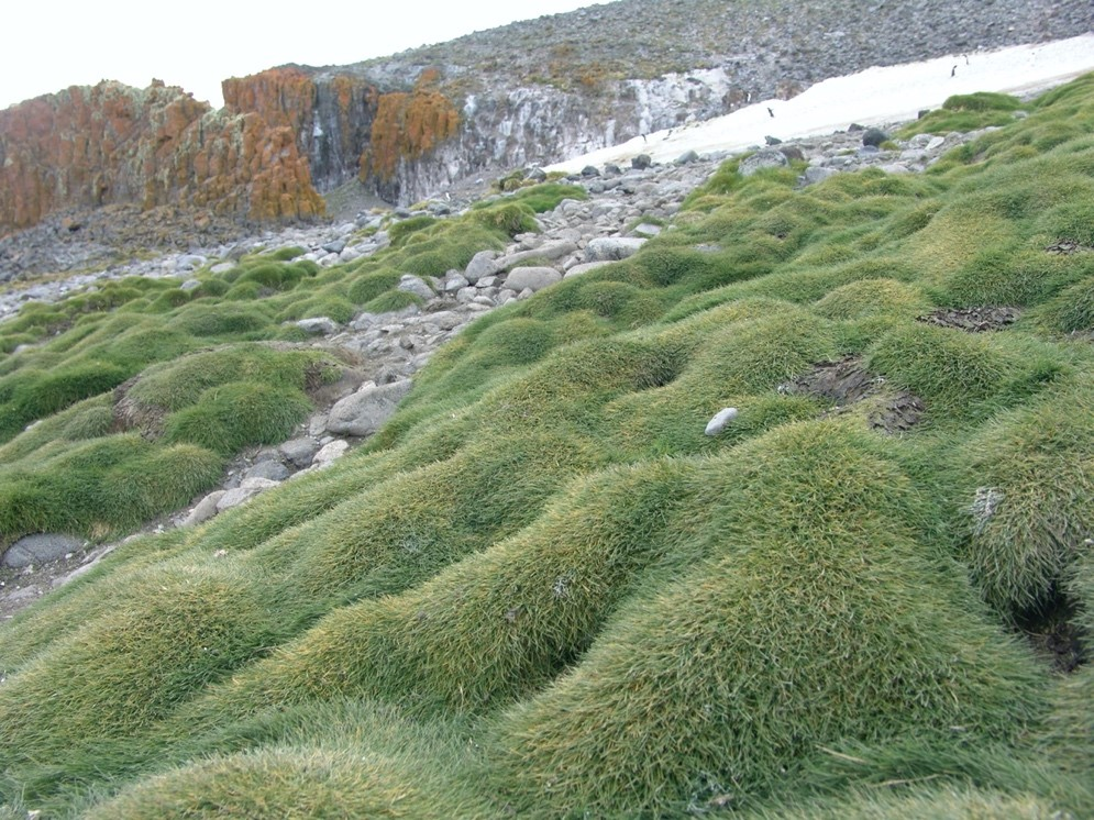 The Antarctic hair grass (Deschampsia antarctica)