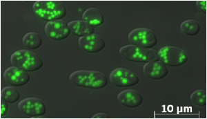 Blastobotrys adeninivorans LS3 in glucose medium after 24 hours growth. Lipid bodies are colored in green with BODIPY.