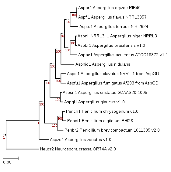 Phylogenetic tree showing position of Aspergillus cristatus