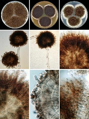 Photo of Aspergillus luchuensis CBS 106.47 v1.0