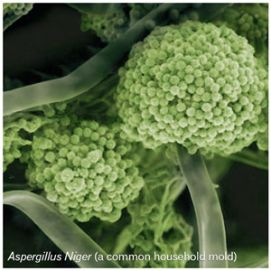 Photo of Aspergillus niger ATCC 1015 v3.0