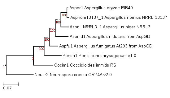 Phylogenetic tree showing position of Aspergillus nomius NRRL 13137