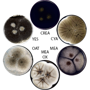 Photo of Aspergillus trinidadensis IBT 32571 v1.0