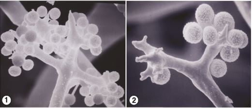 Figure 1) Whorl of pedicellate unispored sporangia from Chaetocladium brefeldii. Figure 2) At maturity, C. brefeldii sporangia detach from sporangiophores. Images by Kerry O'Donnell.