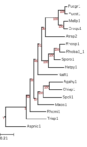 Maximum likelihood tree showing phylogenetic position of Chionosphaera apobasidialis (Chiap1)