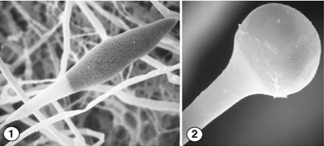 Figure 1) Fusiform chlamydospores of A. padenii. Figure 2) deliquesced sporangial wall of A. padenii. Images by Kerry O'Donnell.