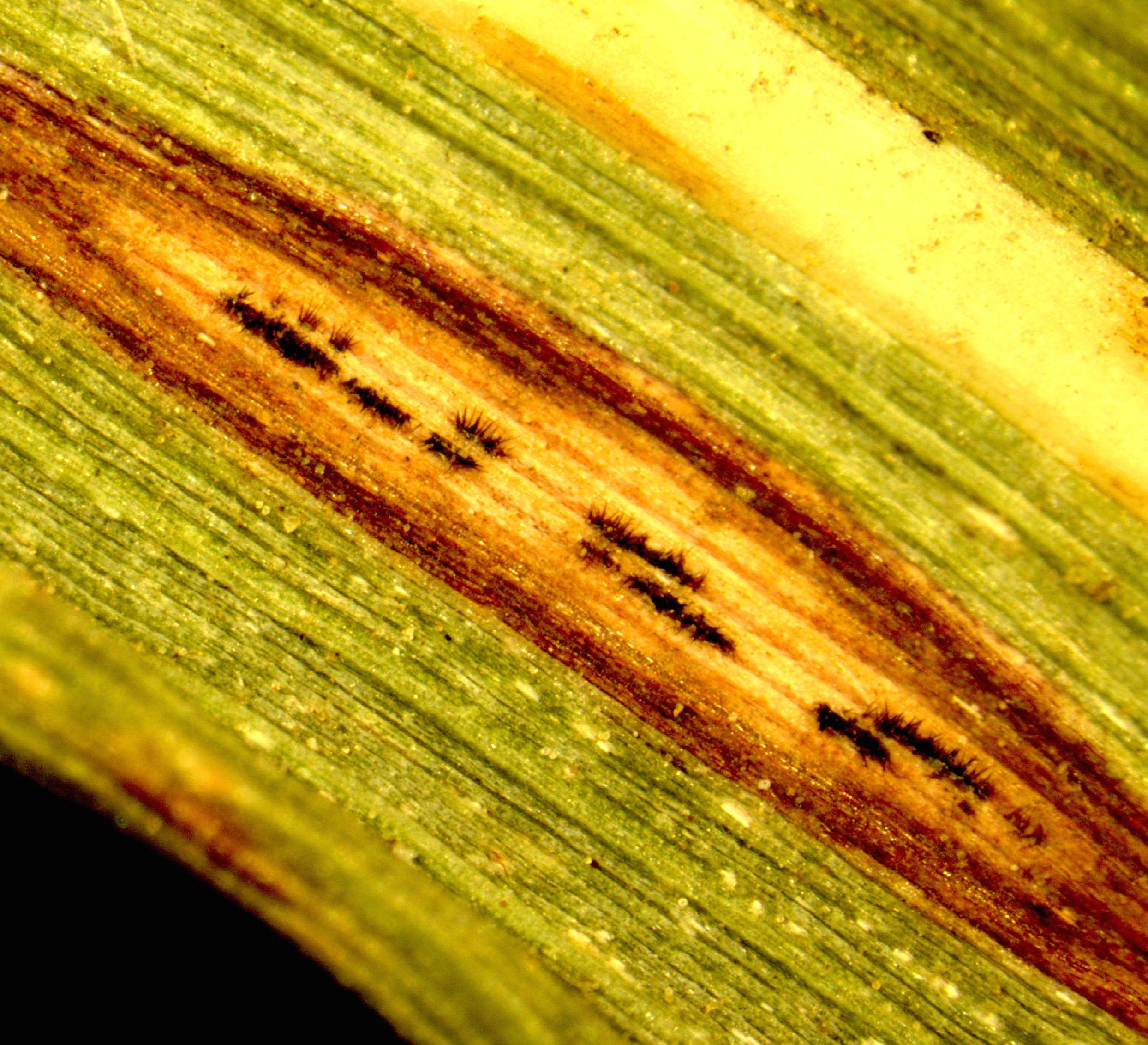 Anthracnose on switchgrass caused by Colletotrichum. Image Credit: Jo Anne Crouch.