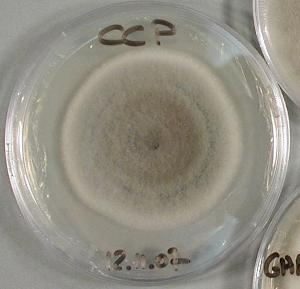 The mycelial culture of the sequenced strain of Corynespora cassiicola (credits: V. Pujade-Renaud, CIRAD).