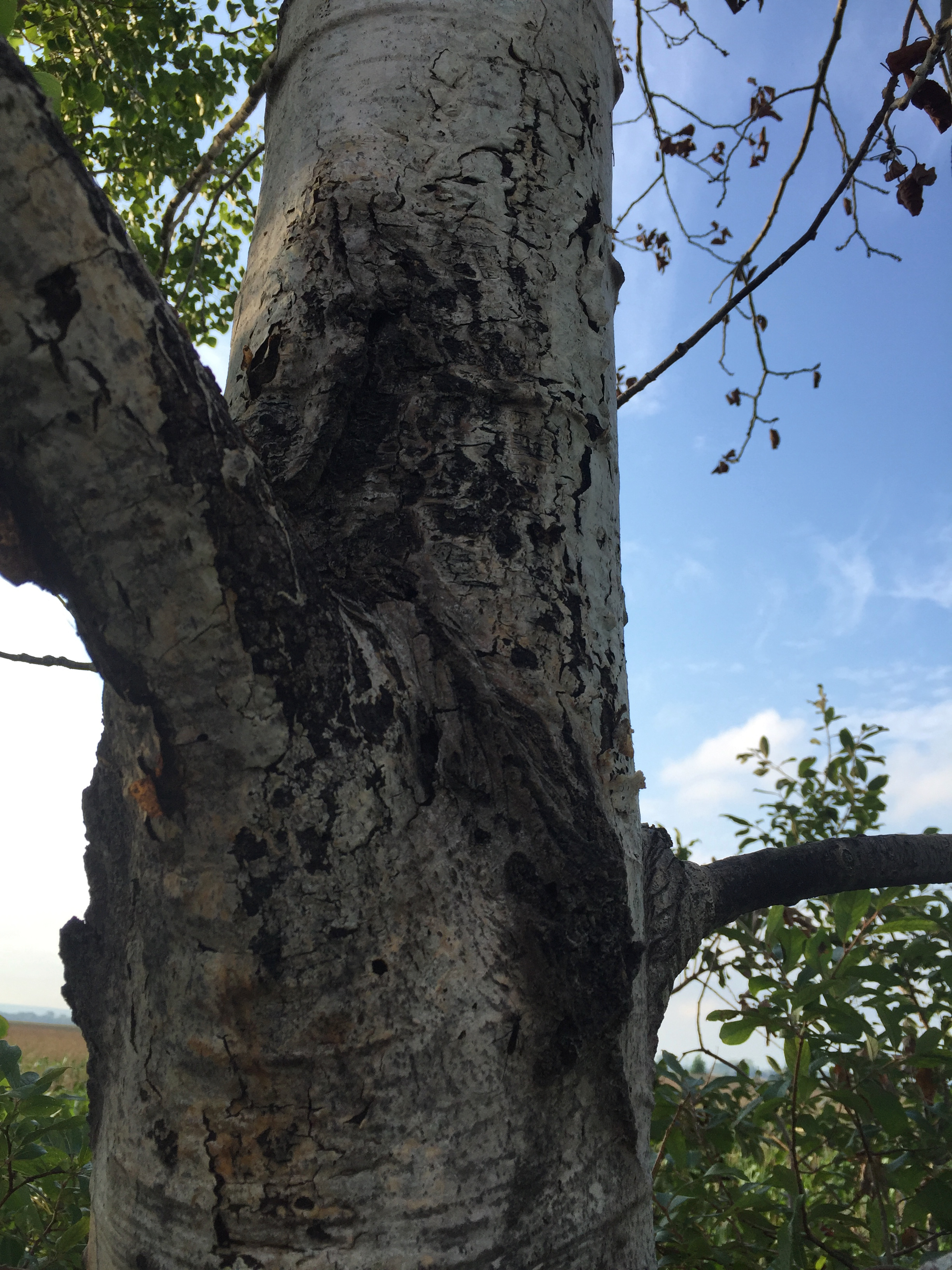 Symptoms of Hypoxylon canker on quaking aspen, Populus tremuloides