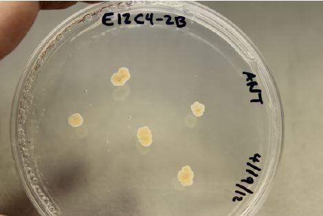 Yeast-like growth of E. maculosum on PDA. Photo by Marin Brewer.
