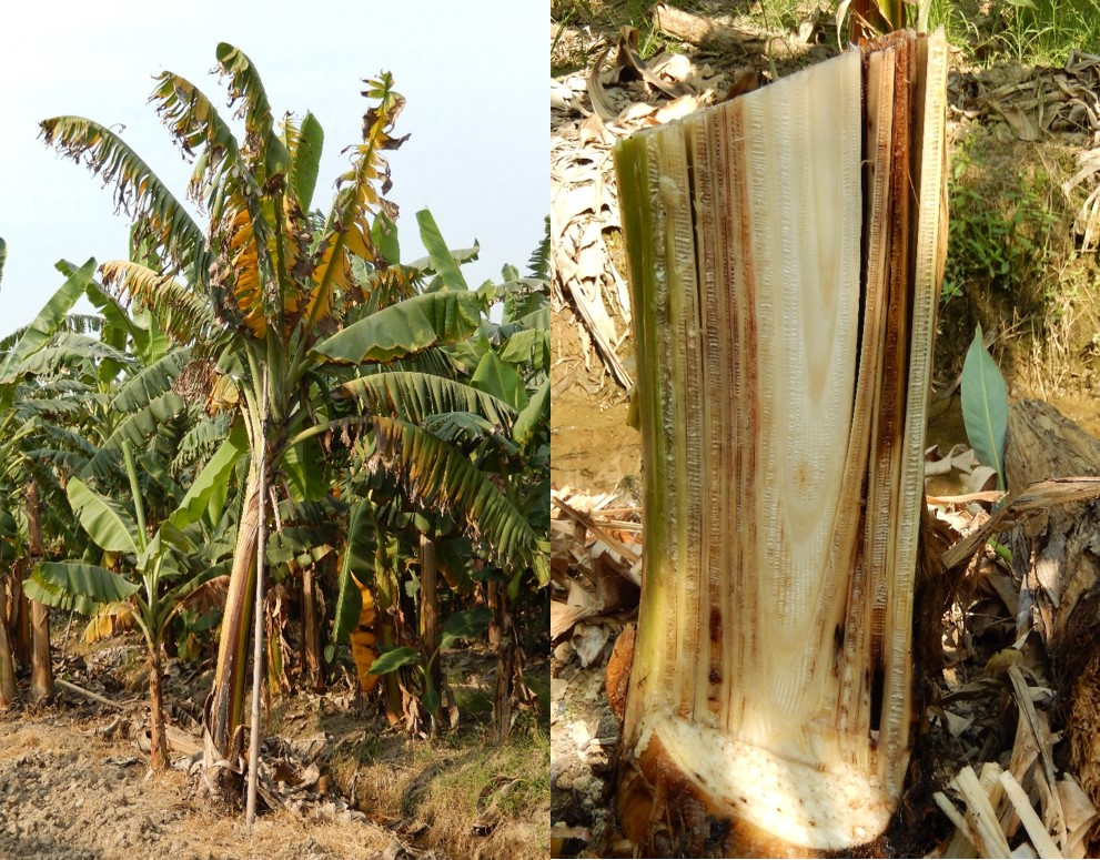 Panama disease caused by F. oxysporum f.sp. cubense.