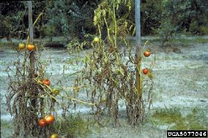 Tomato wilt caused by Fusarium oxysporum f. sp. lycopersici (Photo: David B. Langston, University of Georgia, Bugwood.org)