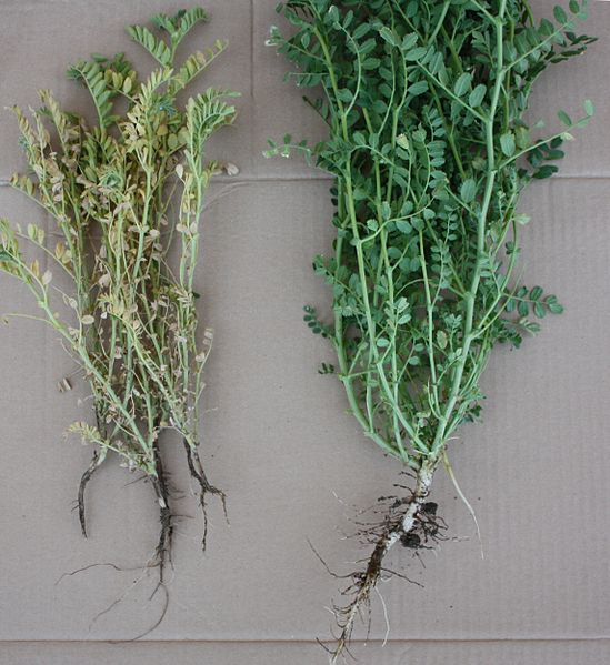 Developmental and chromatic differences between chickpea plants affected by Fusarium solani f.sp. pisi and a healthy plant.
