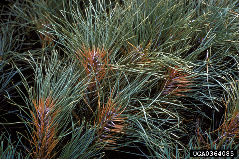 Scleroderris canker of pine and spruce (Gremmeniella abietina)