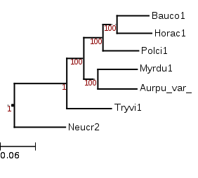 A tree showing the phylogenetic position of Hortaea acidophila (Horac1) among other Dothideomycetes with a Sordariomycetes (Neucr2) outgroup.
