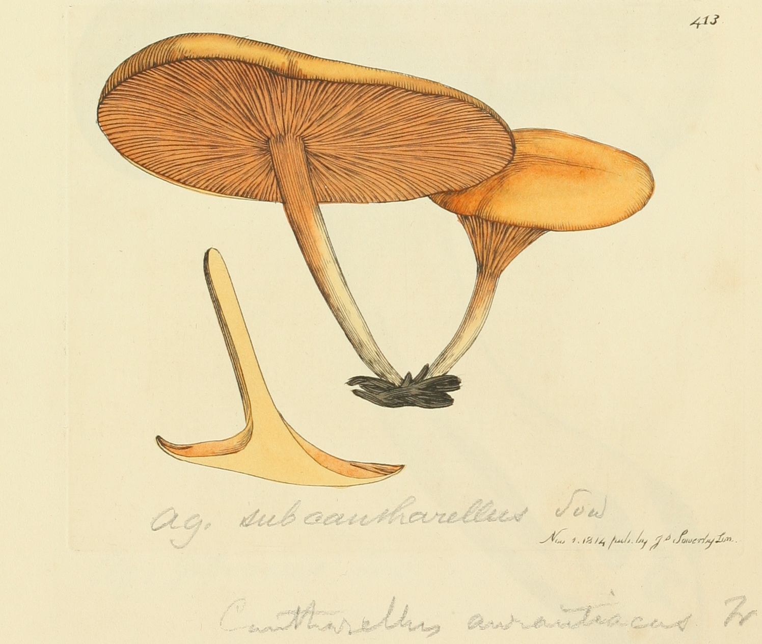 Photo of Hygrophoropsis aurantiaca ATCC 28755 v1.0