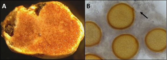 A) A freshly cut sporophore of Jimgerdemannia lactiflua shows 'milking' reaction. (B) Zygosporangia of J. lactiflua budding from the junction of the two gametangia (arrow). Images by Gregory Bonito.