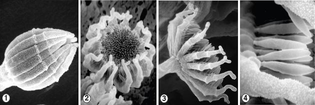 Figure 1) White sporophores with a terminal whorl of fertile branches called sporocladia. Figures 2-4) At maturity, the fungus superficially resembles a compound flower produced by members of the Asteraceae, with umbellate sporocladia bearing densely packed, fusiform unispored sporangia on pseudophialides. Images by Kerry O'Donnell