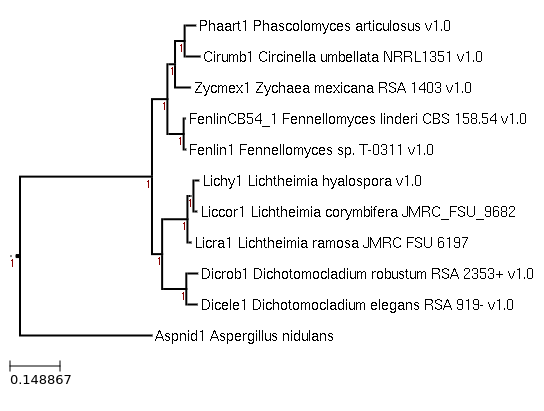 Maximum-Likelihood phylogeny generated by FastTree for Lichtheimia ramosa JMRC FSU 6197 and related species