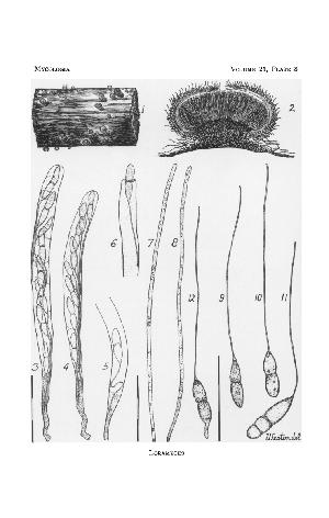 Loramyces from WH Weston, 1929