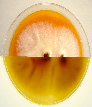 Colony surface (top) and undersurface (bottom) of Monascus purpureus NRRL 1596 exuding reddish pigment into the agar medium.