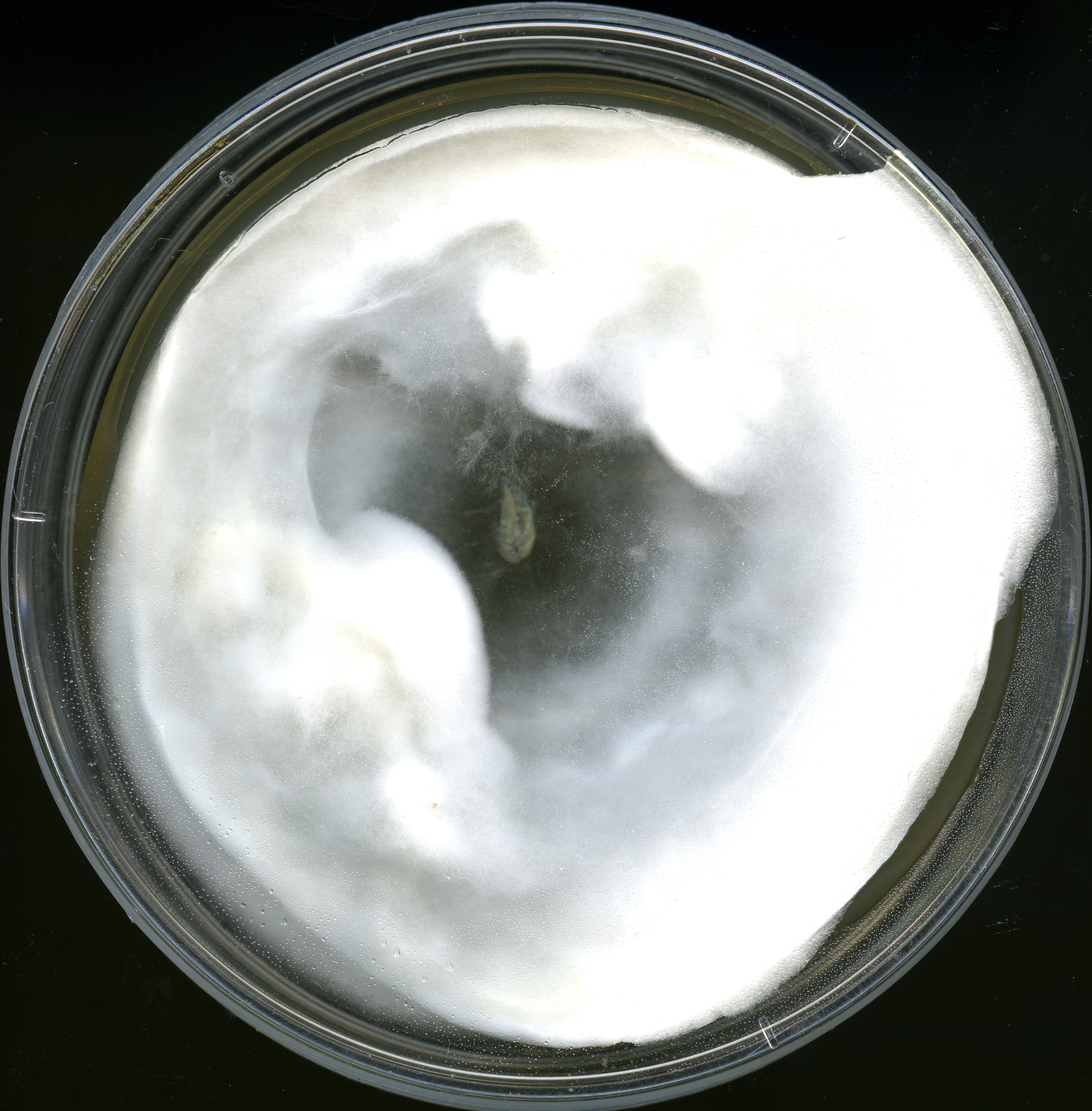Figure 1. The isolate AD185 produces pure white mycelium, which is primarily aerial and rarely embedded in agar media. The fungus may actively dehydrate the media. In later growth stages the culture may form concentric rings. Image courtesy of Julian Liber.