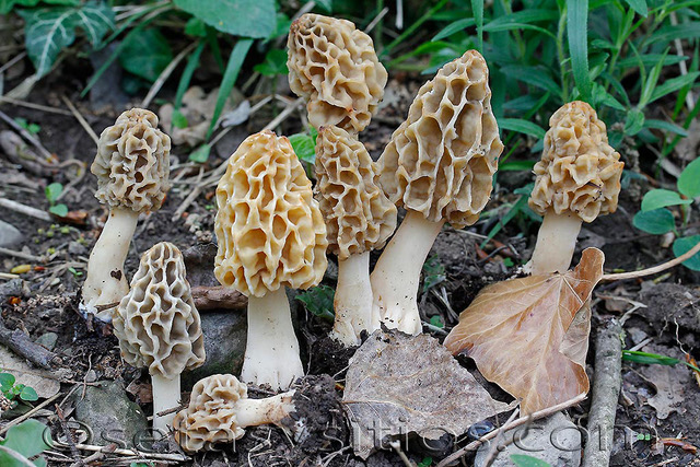 Photo of Morchella fluvialis PhC 265 v3.0