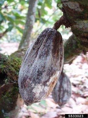 The image of cacao infected by Moniliophthora roreri
