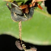 Photo of Ophiocordyceps camponoti-rufipedis Map16