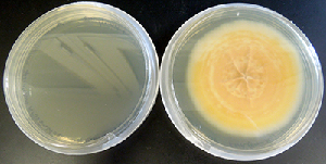Dense mycelium of Paraconiothyrium sporulosum isolate AP3s5-JAC2a producing a yellowish-orange pigment while growing on malt extract agar.