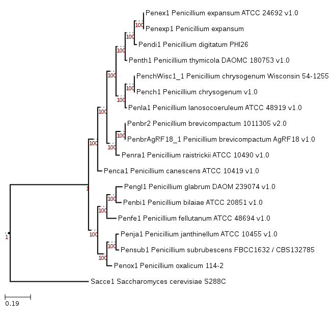 Phylogenetic tree showing position of Penicillium expansum d1