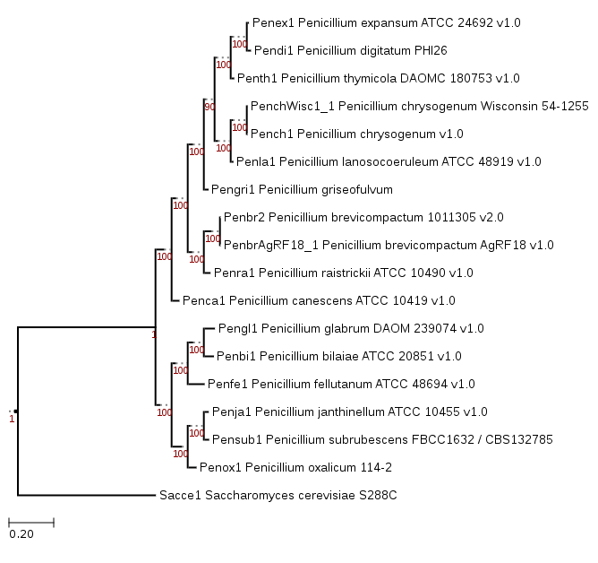 Phylogenetic tree showing position of Penicillium griseofulvum PG3