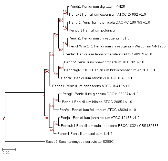 Phylogenetic tree showing position of Penicillium polonicum IBT 4502