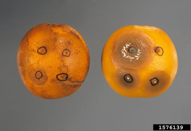 Penicillium solitum on citrus. Image by Gerald Holmes, California