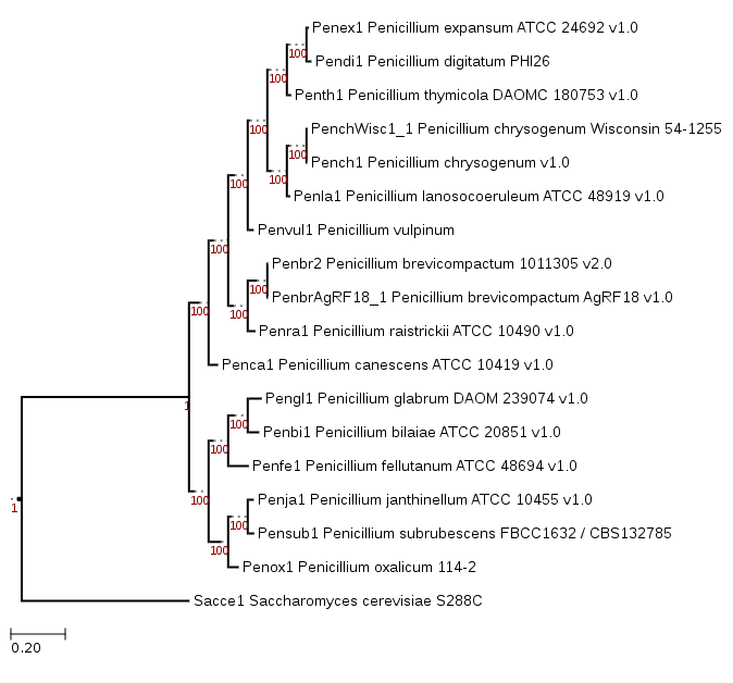 Phylogenetic tree showing the position of Penicillium vulpinum IBT 29486 (Penvul1)