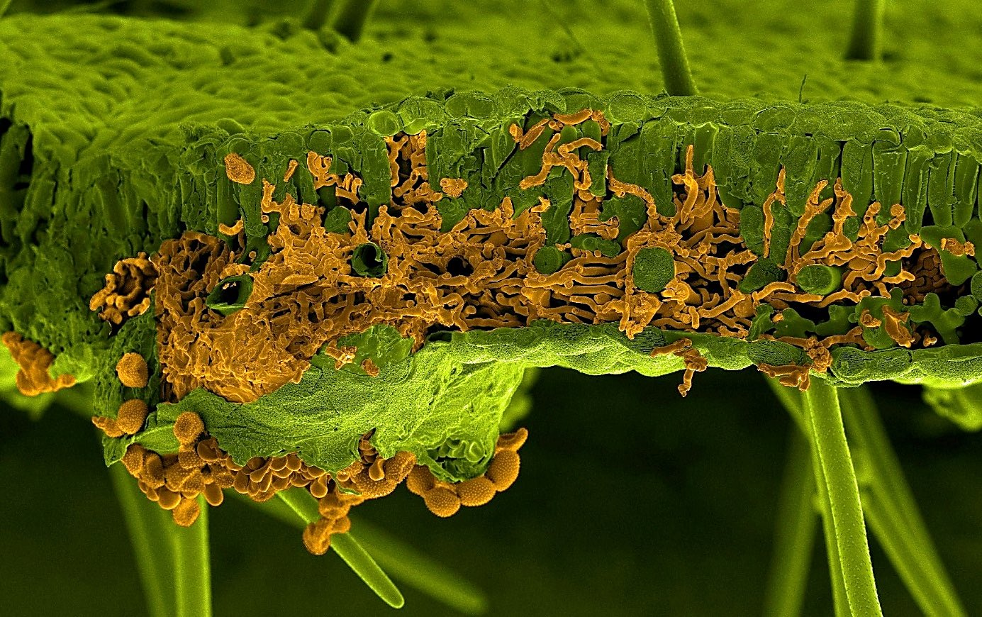 Scanning electron microscopy picture of a soybean leaf infected by the rust fungus Phakopsora pachyrhizi. The leaf and the fungus were artificially painted in green and in orange, respectively. The section shows invading infection hyphae of the fungus inside the leaf mesophyll, whereas the spores are visible below the leaf breaking through the lower epidermis (Picture by U. Steffens, Bayer Crop Science).