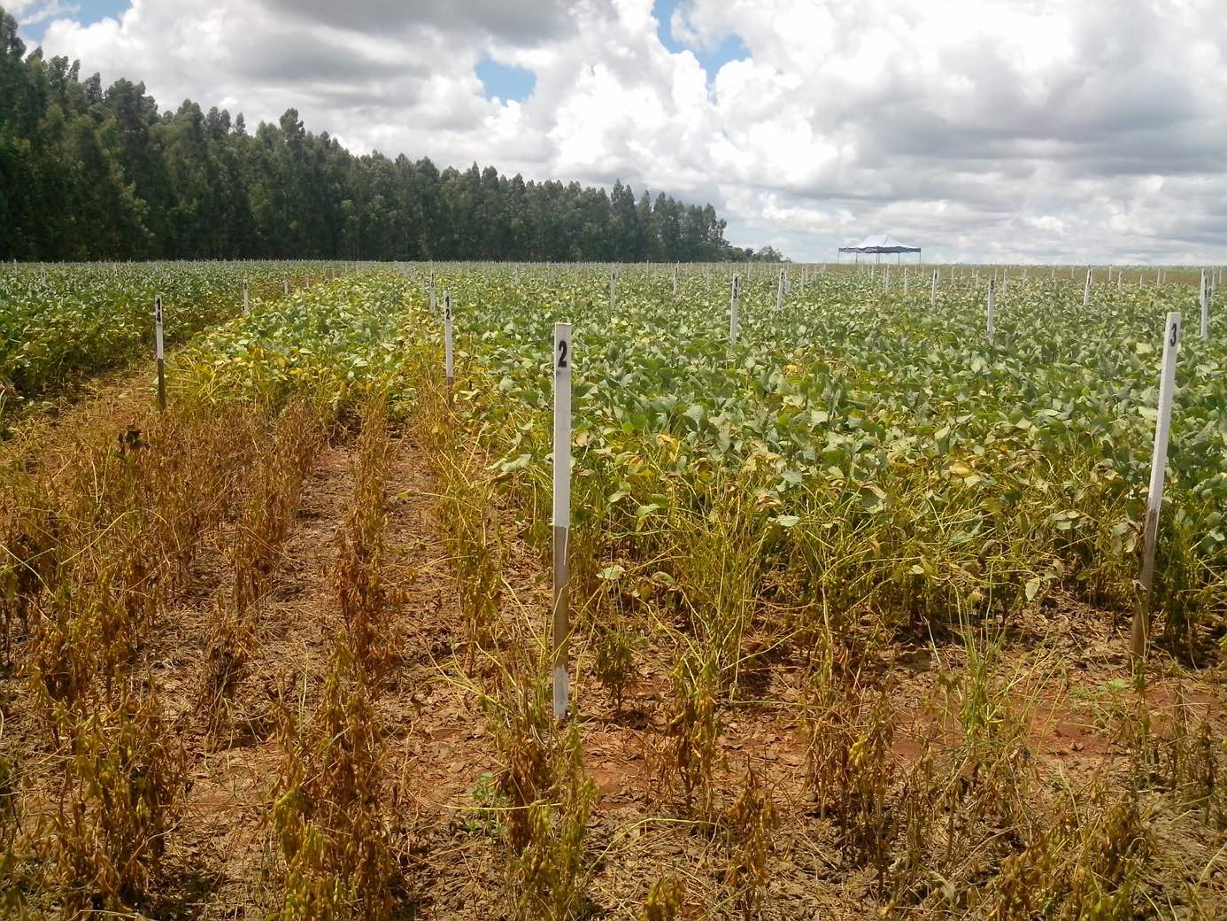 Fungicide field trial plots close to Dourados (Mato Grosso do Sul, Brazil). Untreated control plot in the foreground, with soybean plants showing a high level of infestation with Phakopsora pachyrhizi (Picture by S. Lamprecht, Bayer Division Crop Science).