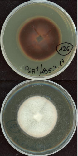 Leotiomycetes sp. MPI-SDFR-AT-0126 growing in the lab.