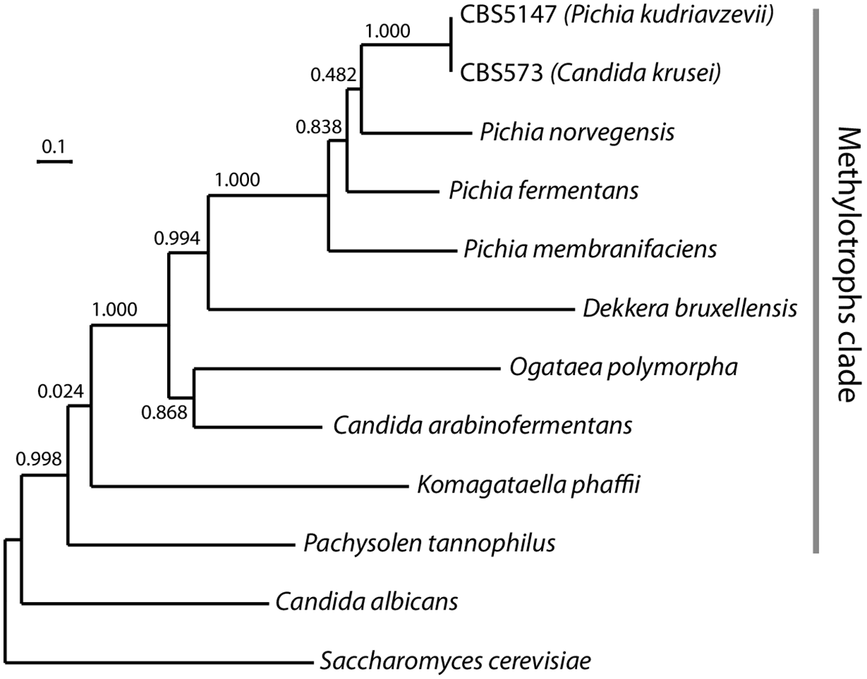 Phylogenetic position of P. kudriavzevii.