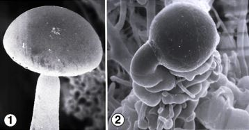 Fig 1) Strongly phototropic terminal sporangium and sporangiophore of Pilaria anomala. Fig 2) suspensors and darkly pigmented zygospore of P. anomala. Photos by Kerry O'Donnell