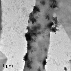 Transmission electron microscope (TEM) image showing hypha of Plectosphaerella cucuminera DS2psM2a2.  Dark (electron dense) clusters along the exterior of the cell wall are aggregates of Mn-oxide minerals produced by the fungus.