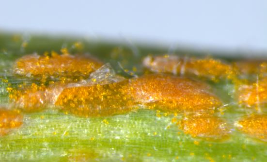 Pustules of Puccinia striiformis f. sp. tritici 104 E137 A-. Photo credit: Yiheng Hu.