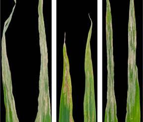S. turcica symptoms on two susceptible lines of maize (left and right) and a resistant line (middle).