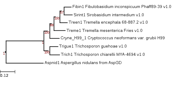Maximum likelihood phylogenetic tree showing relationship of Sirobasidium intermedium to other Tremellomycetes in Mycocosm.
