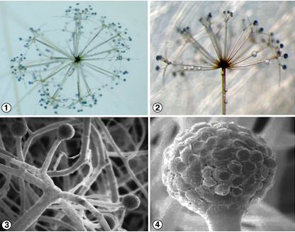 Figures 1 and 2) Sporangiophores of S. umbellata which arise directly from the substrate, forming an umbel and then each branch forms a secondary umbel.