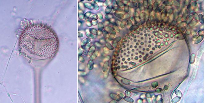 Left: Closeup of Syncephalis fuscata sporangium with a few attached