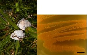 Testiculatria cyperi smut balls on Rhynchospora sp. (left) and its culture on PDA (right)