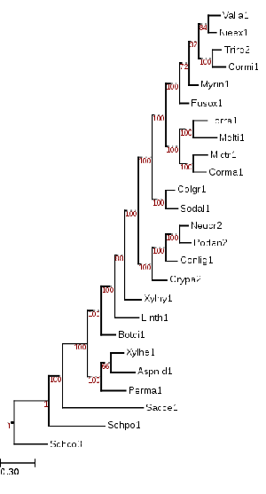 Maximum likelihood tree from ~200 conserved protein sequences, showing phylogenetic position of Torpedospora (Torra1) within Ascomycota.
