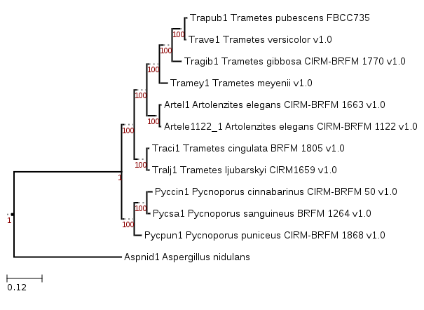 Phylogenetic tree showing the position of Trametes meyenii CIRM-BRFM 1810 (Tramey1)
